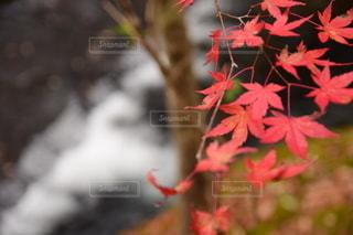 赤のもみじの写真・画像素材[2513568]