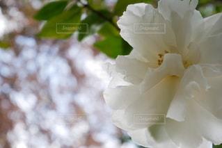 白の山茶花の写真・画像素材[2714362]