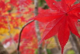 真っ赤に紅葉の写真・画像素材[2728743]