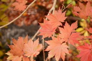 淡い紅葉の写真・画像素材[2728745]