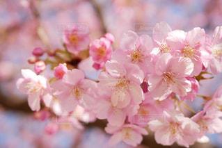 河津桜の写真・画像素材[2993239]