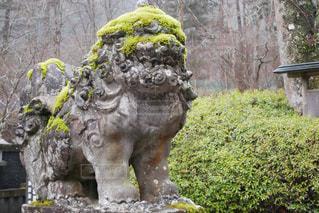モコモコの苔が生えた狛犬の写真・画像素材[3009727]