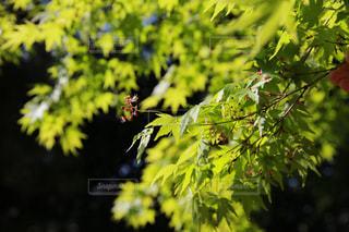 もみじの花の写真・画像素材[3134647]