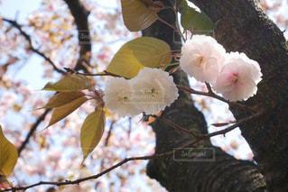 満開の牡丹桜の写真・画像素材[3134652]