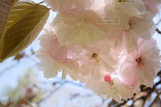 満開の牡丹桜の写真・画像素材[3134650]