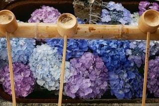 手水舎の紫陽花の写真・画像素材[3345860]