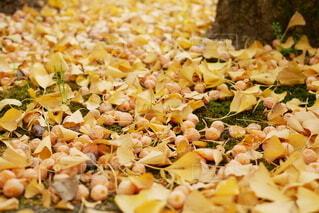 銀杏と銀杏の実の写真・画像素材[3861453]