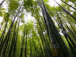 竹林の写真・画像素材[2456271]