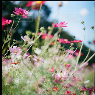 秋桜の写真・画像素材[1882165]