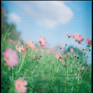 秋桜の写真・画像素材[1882177]