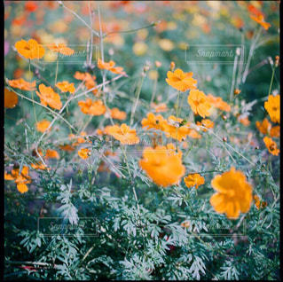 秋桜の写真・画像素材[1882178]