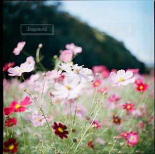 秋桜の写真・画像素材[1882180]