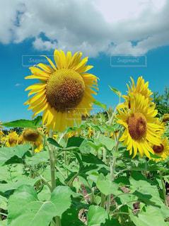 夏のひまわりの写真・画像素材[1882426]