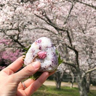 桜おにぎりの写真・画像素材[1997705]