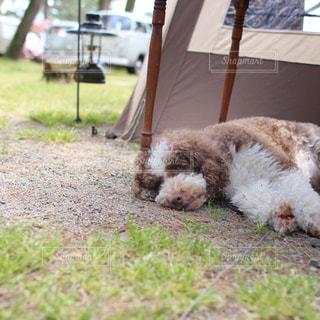愛犬お昼寝中の写真・画像素材[2111603]