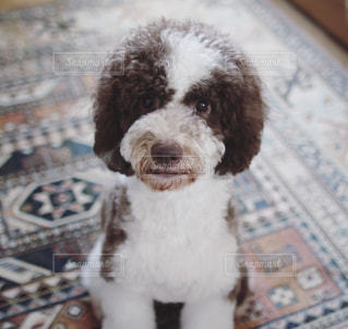 愛犬とキリムラグの写真・画像素材[2111611]