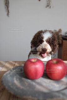 りんごが大好きな愛犬の写真・画像素材[2111613]
