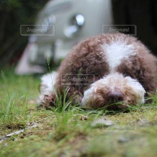 キャンプでネムネムの愛犬の写真・画像素材[2198693]