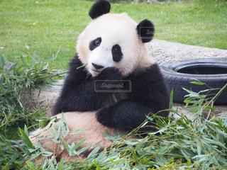 草の中に座っているパンダの写真・画像素材[1885439]