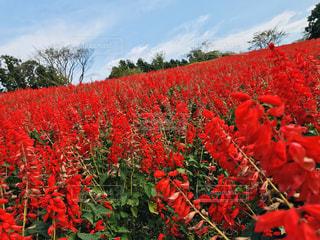 赤い花の写真・画像素材[1904635]