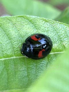 てんとう虫の写真・画像素材[1222341]