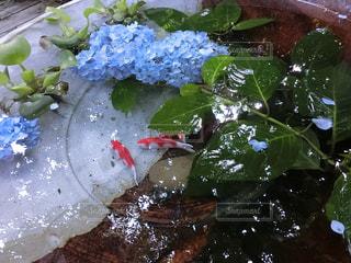 紫陽花と鯉の写真・画像素材[2082504]