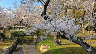 渉成園の桜の写真・画像素材[1965563]