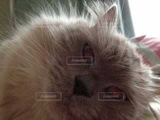 横になって、カメラを見ている猫の写真・画像素材[958768]
