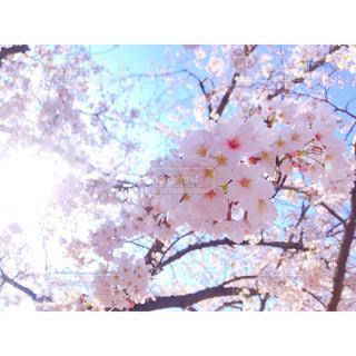 桜の写真・画像素材[1940374]