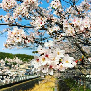 満開の桜の写真・画像素材[1894561]