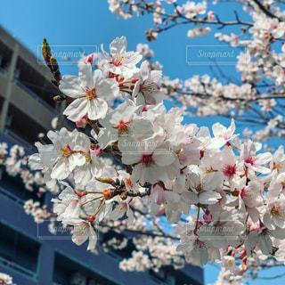 満開の桜の写真・画像素材[1894564]
