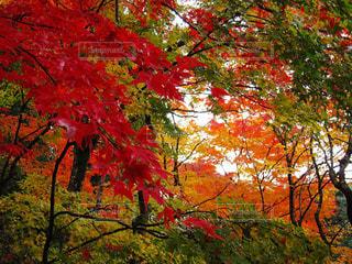 京都の紅葉の写真・画像素材[2002625]