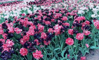 ピンクの花が庭にあるの写真・画像素材[2134980]