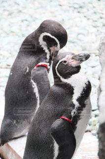 近くにペンギンのアップの写真・画像素材[873474]