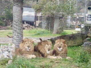 芝生で横になっているライオンの写真・画像素材[1046526]