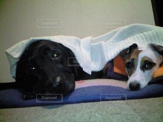 犬の写真・画像素材[68756]