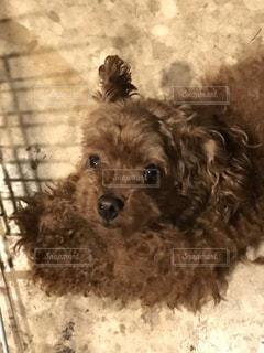カメラを見ている小さな黒い犬の写真・画像素材[2168176]