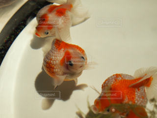 金魚の写真・画像素材[1902631]