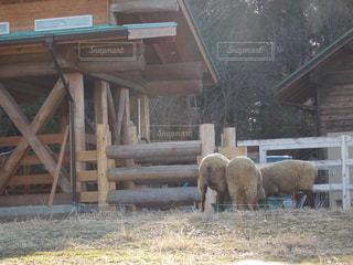 木製フェンスの上に羊の立っているグループの写真・画像素材[1902045]