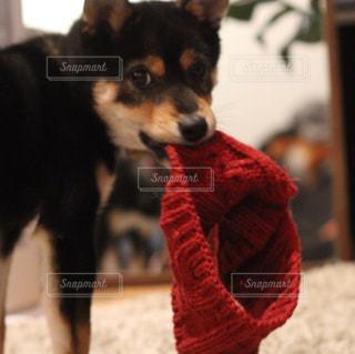 カメラを見ている犬の写真・画像素材[2092852]