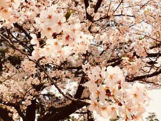 桜の写真・画像素材[1966894]