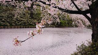 ちり桜の写真・画像素材[2067931]
