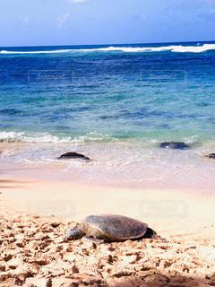浜辺の水の中の亀の写真・画像素材[2864594]