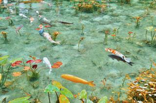 通称モネの池にて。の写真・画像素材[2016940]