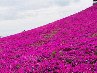 ピンクの丘の写真・画像素材[2005266]