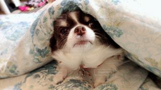布団に入って寝るチワワの写真・画像素材[1939289]