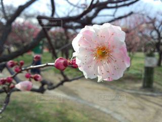 梅に花の写真・画像素材[1921026]