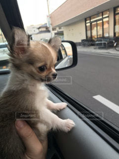 車の上に座っている犬の写真・画像素材[1941105]