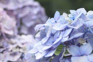 雨上がりの紫陽花の写真・画像素材[1903407]