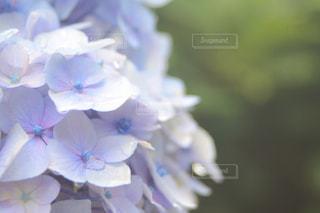 紫陽花の写真・画像素材[1903415]
